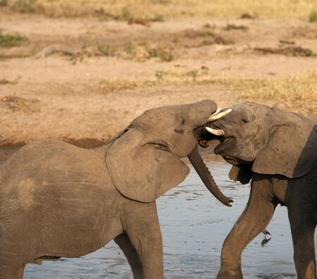 Two baby elephants standing in water and play fighting, with ivory tusks locked and showing pink gums. Tarangire National Park, Tanzania, Africa
