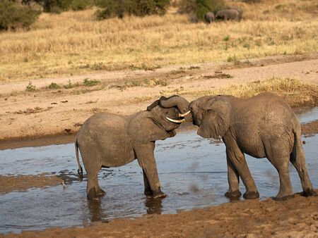 Two baby elephants standing in water and play fighting in sunset, with ivory tusks locked and water dripping from their mouths. Tarangire National Park, Tanzania, Africa