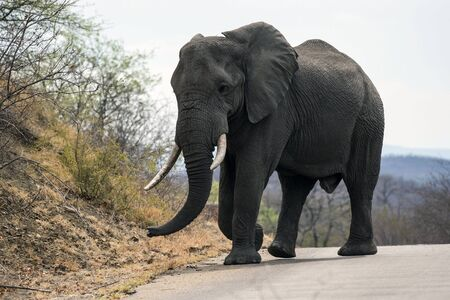 Large male elephant (Loxodonta africana) with ivory tusks in tack, walking on tar road in Kruger National Park, South Africa