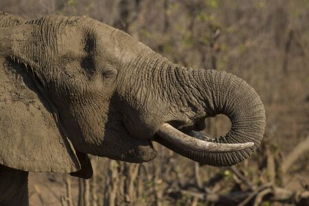 Elephant caked in mud as protection from sun, Kruger National Park, South Africa