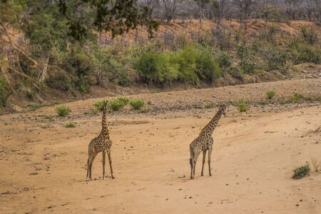 Two young giraffe (Giraffa) standing in dry sandy riverbed, during drought of 2016, with green foliage in background. Kruger National Park, South Africa