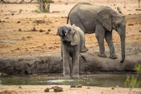 Baby Elephant (Loxodonta africana) drinking water from waterhole in Kruger National Park, South Africa Stock Photo