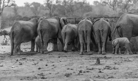 Herd of Elephants (Loxodonta africana) gathered around waterhole Kruger National Park. all with back to camera. South Africa