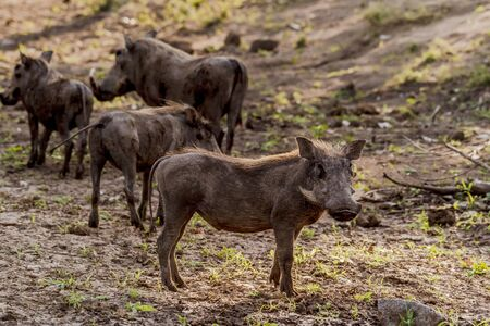 Group of Warthogs ( Phacochoerus africanus ) in evening sun, Kruger National Park, South Africa Stock Photo
