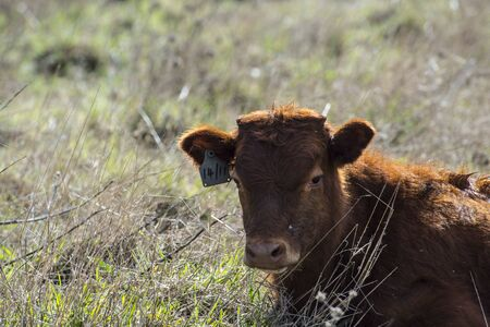Close up of Red Dexter Cow, considered a rare breed, sitting in pasture with head facing camera and natural blurred background Stock Photo