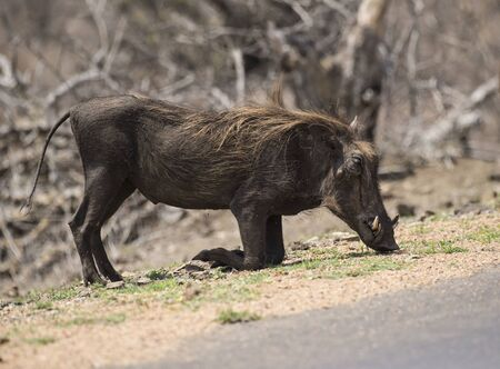 Single Warthog ( Phacochoerus africanus ) kneeling with tusks visible, eating grass. Kruger National Park, South Africa