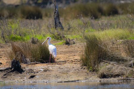 African spoonbill (Platalea alba), standing on river bank with back to camera and head turned to left, showing long red spoon beak and red legs. Bird is part the Agreement on the Conservation of African-Eurasian Migratory Waterbirds (AEWA) Фото со стока