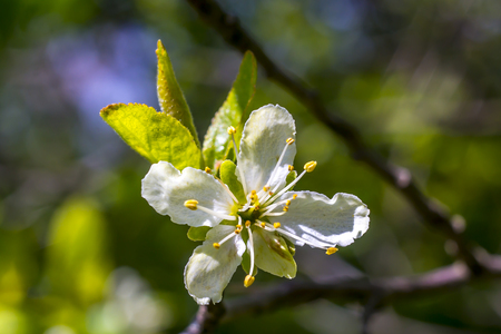 fresh young Plum Blossom in the spring sun  Stock Photo