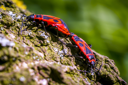 two macro insect Fire bug mating in spring