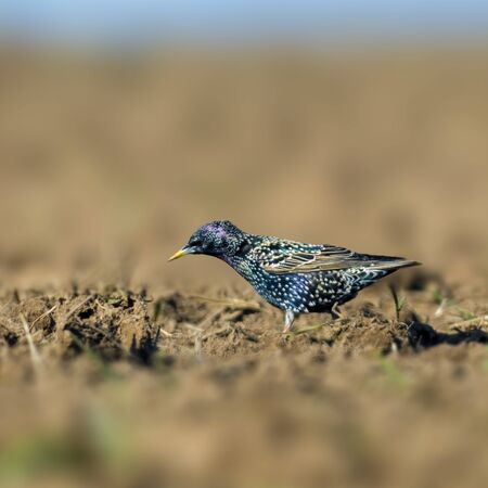 Starling on a field in spring season