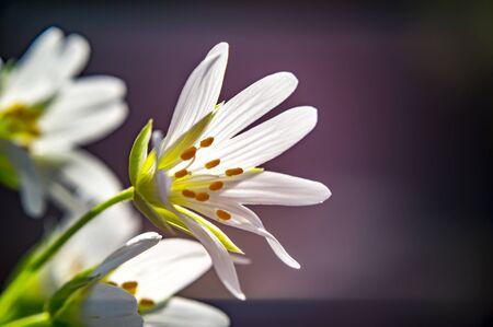 big starwort blossom in spring season Archivio Fotografico