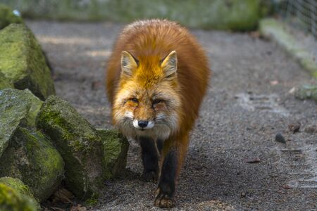 red fox hunting season in summer light Stock Photo
