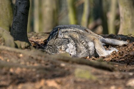 Gray wolf chill and hides in the green leaves forest