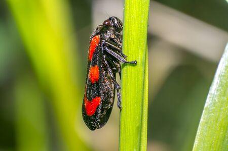 red black blood cicada beetle in nature season meadow