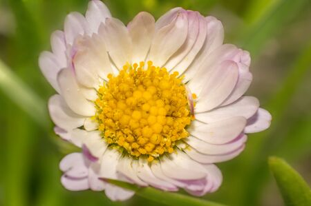 pink daisies in the summer season Archivio Fotografico