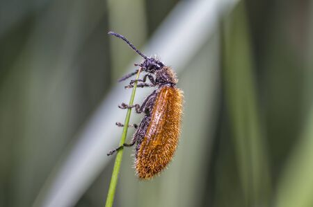 little brown hairy beetle on blade of grass