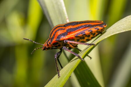 red black striped bug on blade of grass