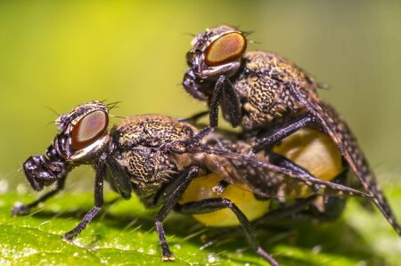 small gas mask fly in mating on green leaf in fresh season nature Stock Photo