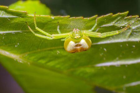 green pumpkin spider on cherry leaf in fresh season nature Stock Photo