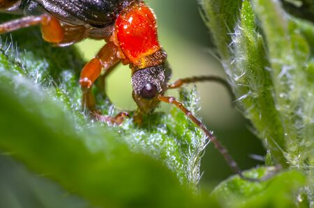 red black soldier soft beetle in green season nature meadow