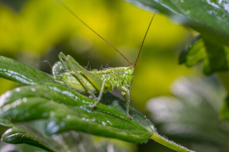 grasshopper at green goosberry bush in my season garden