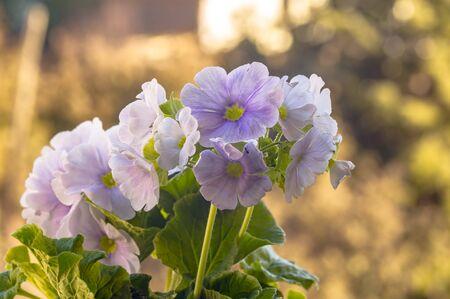 fresh spring flower easter blossom in my season garden