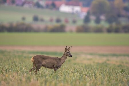roe deer at corn field in the wild nature Stock Photo
