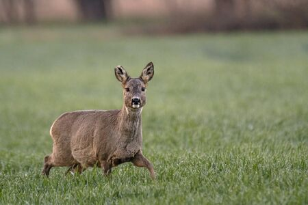 roe deer at field in the wild nature Stock Photo