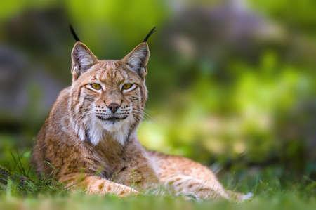 a wild lynx is hiding in the forests Zdjęcie Seryjne