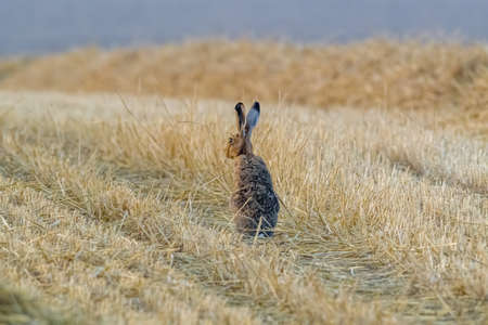 a young hare on a harvested field