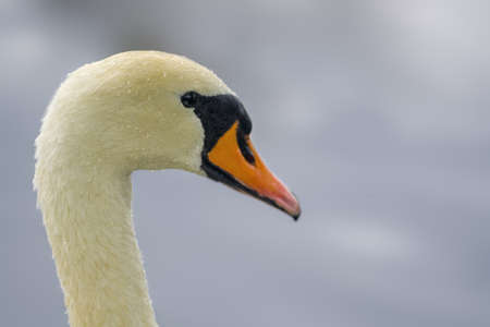 a Young swan swims elegantly on the pond