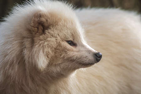 a young white raccoon dog in Zoo Koethen Saxony Anhalt Germany