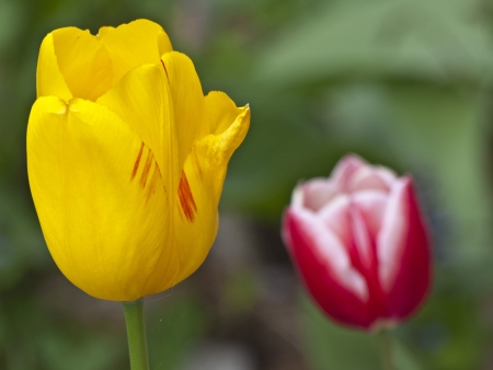 yelow: Yelow and red tulips