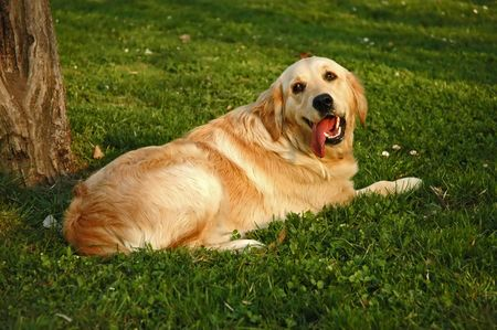 yaw: Golden retriever in the grass Stock Photo
