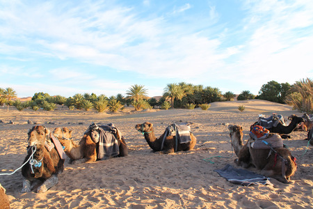 Arabian camels resting on the sand in a sunny day with trees in the background of the Sahara Desert, North Africa.