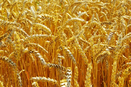 Fields of wheat at the end of summer fully ripe Stock Photo - 8009935