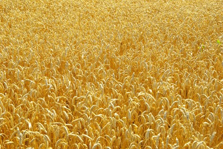 Fields of wheat at the end of summer fully ripe Stock Photo - 8009943