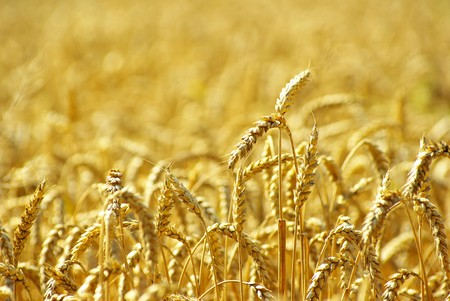 Fields of wheat at the end of summer fully ripe Stock Photo - 8009923