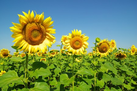 field of sunflowers and blue sun sky Stock Photo
