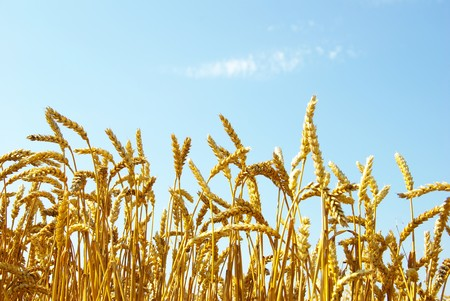 A field of golden wheat and blue sky Stock Photo - 8009994