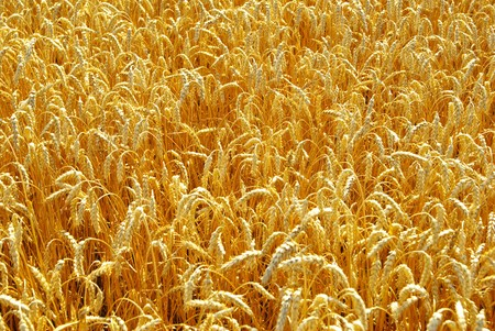 Fields of wheat at the end of summer fully ripe photo