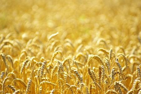 完全に熟した夏の終わりには小麦のフィールド 写真素材