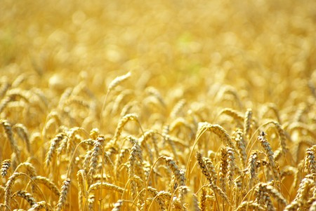 Fields of wheat at the end of summer fully ripe Stock Photo - 8009989