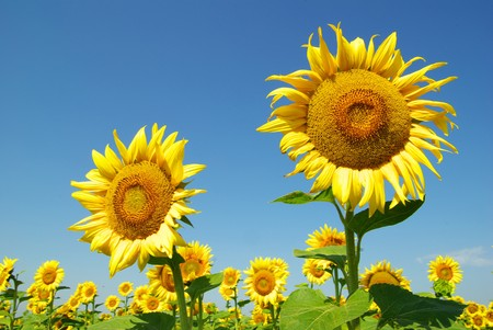 natural vegetation: field of sunflowers and blue sun sky Stock Photo