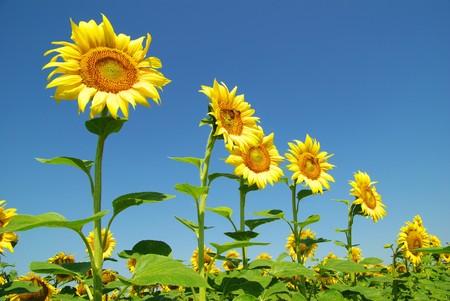 ひまわりとブルーの sun の空のフィールド