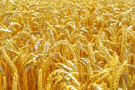 Fields of wheat at the end of summer fully ripe Stock Photo - 8169382