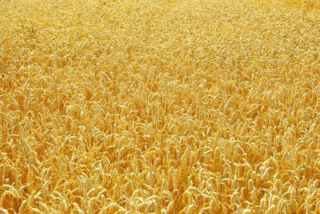 Fields of wheat at the end of summer fully ripe Stock Photo - 8169420