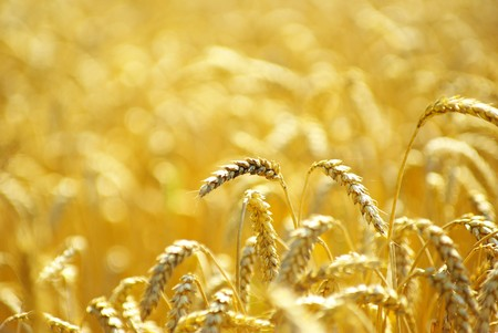 Fields of wheat at the end of summer fully ripe Stock Photo - 8166095