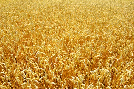 Fields of wheat at the end of summer fully ripe Stock Photo - 8169534