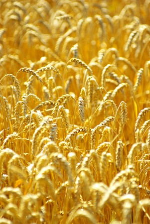 Fields of wheat at the end of summer fully ripe Stock Photo - 8169487